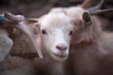 Pashmina goats in Changthan